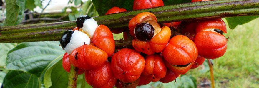 Acheter votre guarana bio en ligne